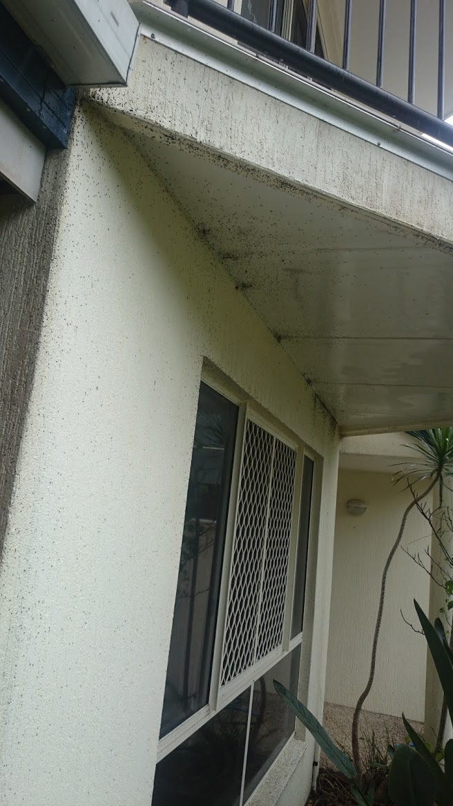 Ants issue explod out of eves as pest treatment forces them out of hiding on the Sunshine Coast.