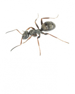whitefooted house ant