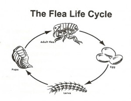 flea-life-cycle-sunshine-coastjpg